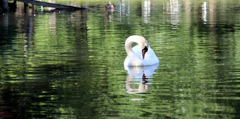 Birds Animals Park Boston Ma lakes Woter Bird swan. Birds Animals Park Boston Ma lakes Farm Bird swanboston swan boats stock photo