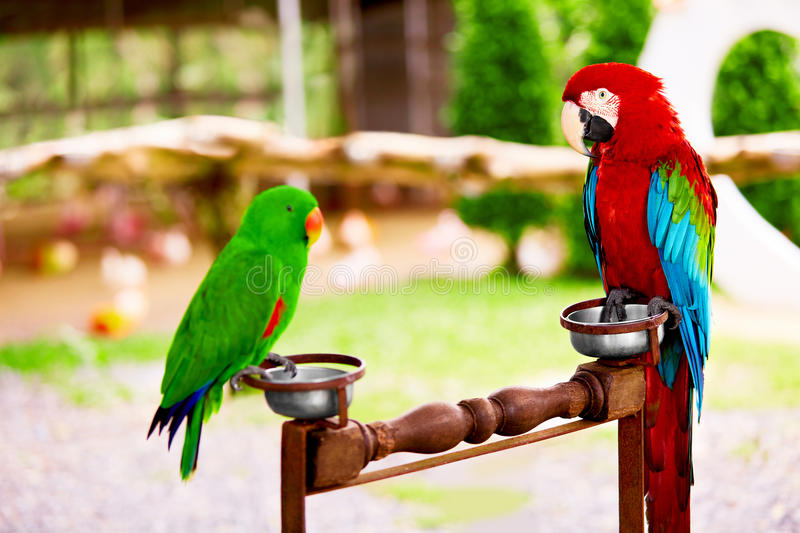 Birds, Animals. Red Scarlet Macaw, Green Solomon Island Eclectus Parrot. stock images