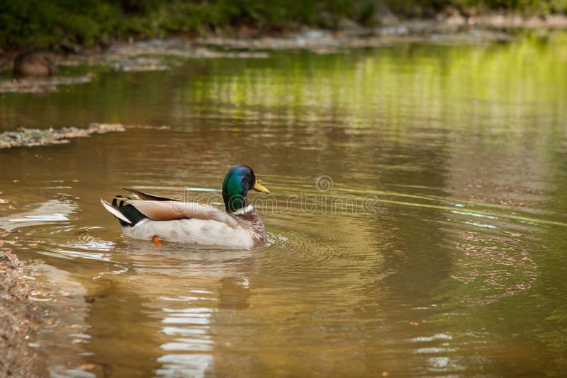 Birds and animals in wildlife. Amazing mallard duck swims in lake or river with blue water under sunlight landscape. Closeup stock photos