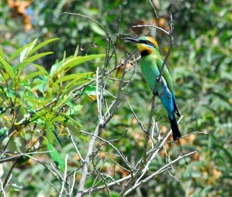 BIRDS- Australien- Extreme Close Up a Rainbow Bee Eater arkivfoto
