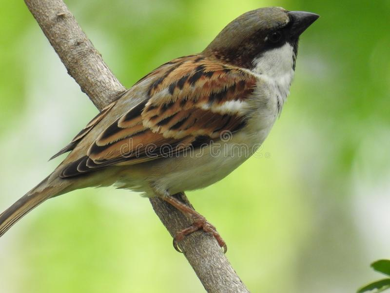 Sparrow Birds, Birds of Bangladesh stock photography