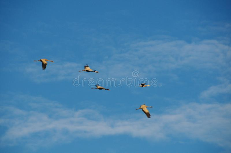 Birds in  blue sky. Morning in Nianhu Lake. Birds are flying in the  blue sky stock photos