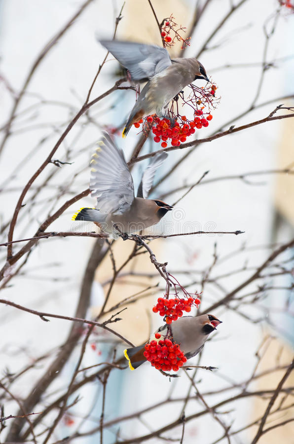 Birds on a branch of rowan. Waxwings on the snow-covered branch of a mountain ash stock image