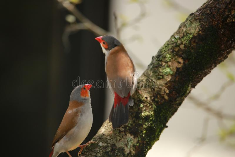 Birds on a branch. Two birds ona branch in Butterfly World in Florida USA. Summer 2018. Two brown-grey-red birds sitting on a tree branch covered by moss royalty free stock images