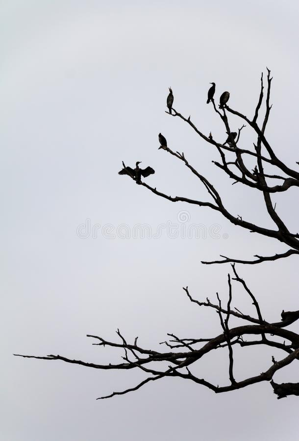 Birds and branches- dark silhouettes against plain white sky stock image