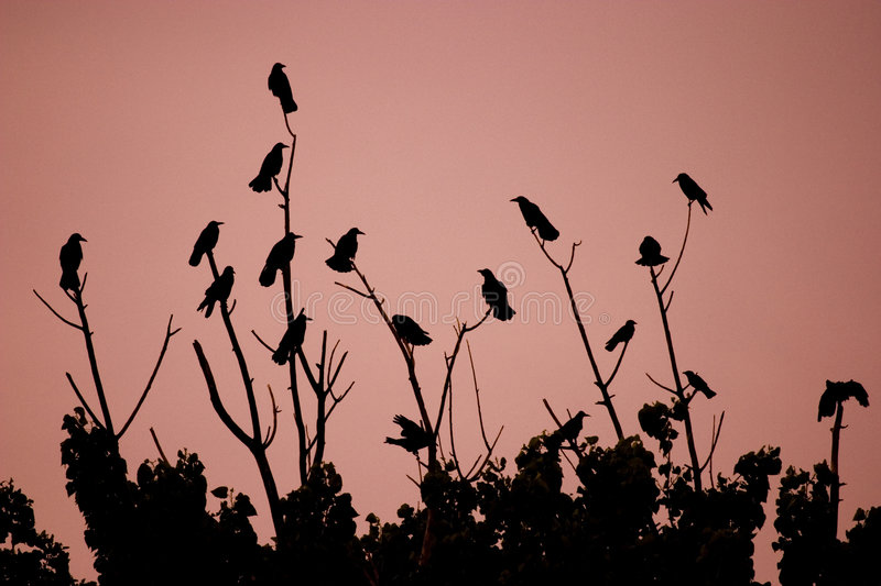 Birds on bushes. A view of a number of birds (crows) perched on bushes silhouetted against a pinkish background