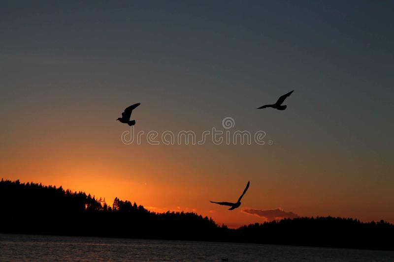 Birds circling over the water at sunset stock images