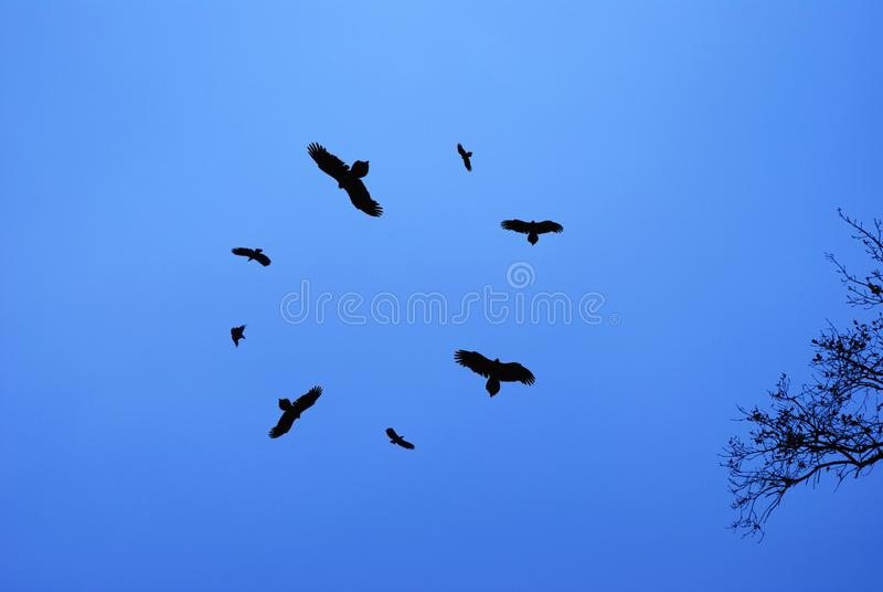 Birds circling in the sky. Silhouettes of birds circling in the sky royalty free stock images