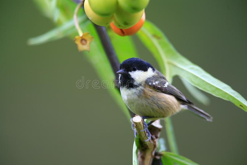Birds coal tit. royalty free stock image