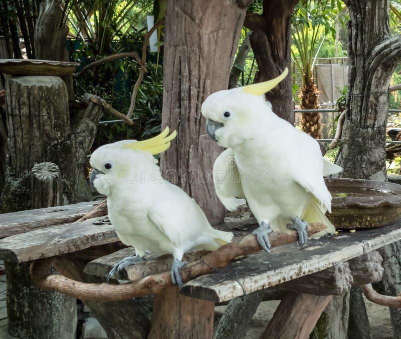 Cockatoo duo. Birds, Cockatoo, canny birds stock photo