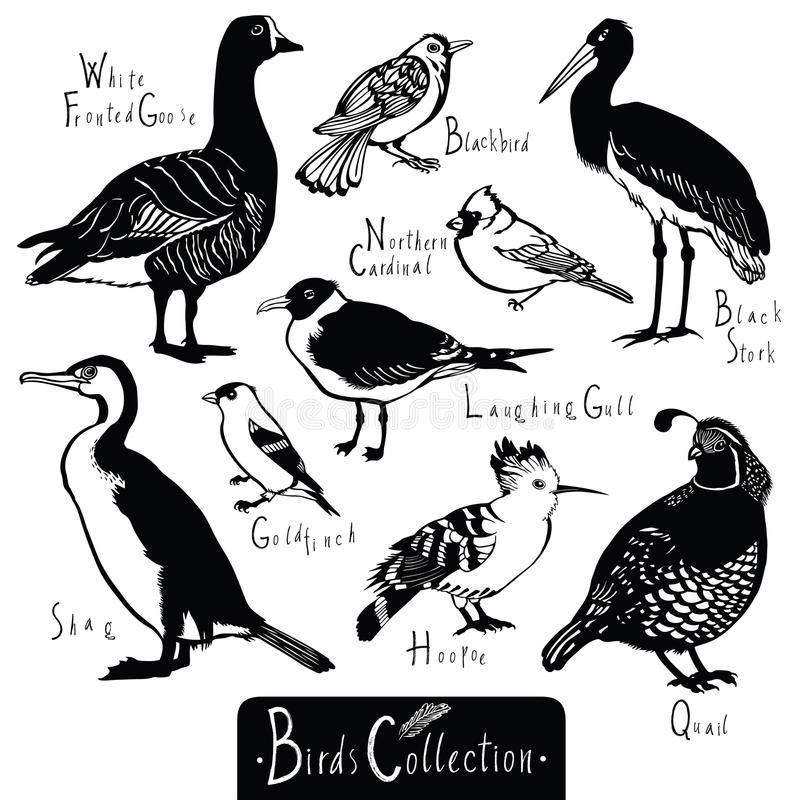 Birds collection Black Stork Goldfinch Laughing Gull Quail Hoopoe. White Fronted Goose Shag Northern cardinal Blackbird Black and white vector objects vector illustration
