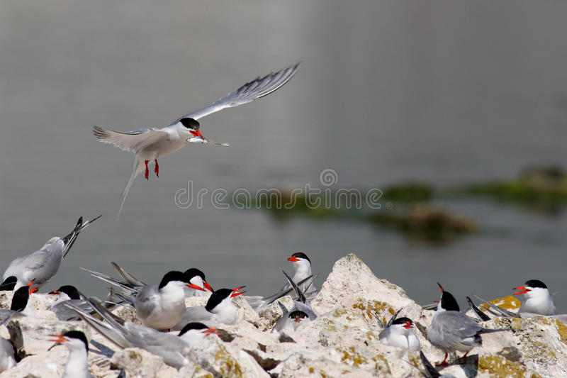 Birds Common tern and fish royalty free stock photo