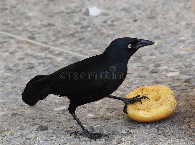 Birds Of Cuba. Cuban blackbird or el tori with bread at Playa del Este Cuba royalty free stock images