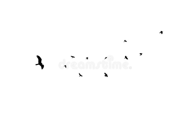 Birds different sizes isolated, flock black crow royalty free stock photography