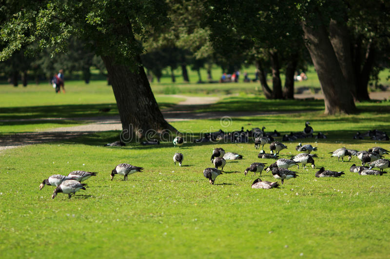 Birds in Drottningholm royalty free stock images
