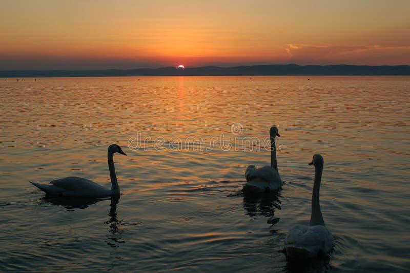 Birds at Dusk. Dawn dusk lake waves sun orange birds swan game goose-neck sky cloud close royalty free stock photos