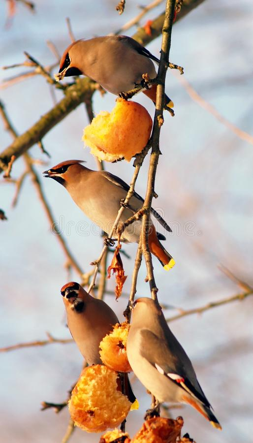 Download Birds eating apples stock photo. Image of vertical, four - 14501206