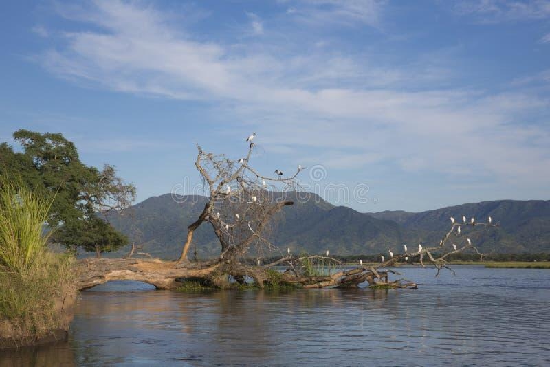 Birds on fallen tree in Zambezi river royalty free stock photography