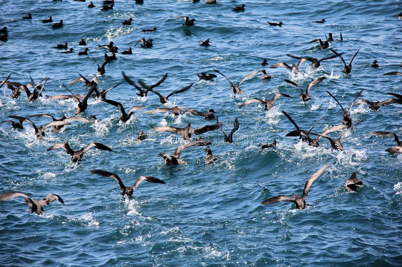 Birds Feeding Frenzy. While on a short cruise we watched an enormous flock of sea birds feasting on a school of small fish. The sight and sounds were amazing stock image