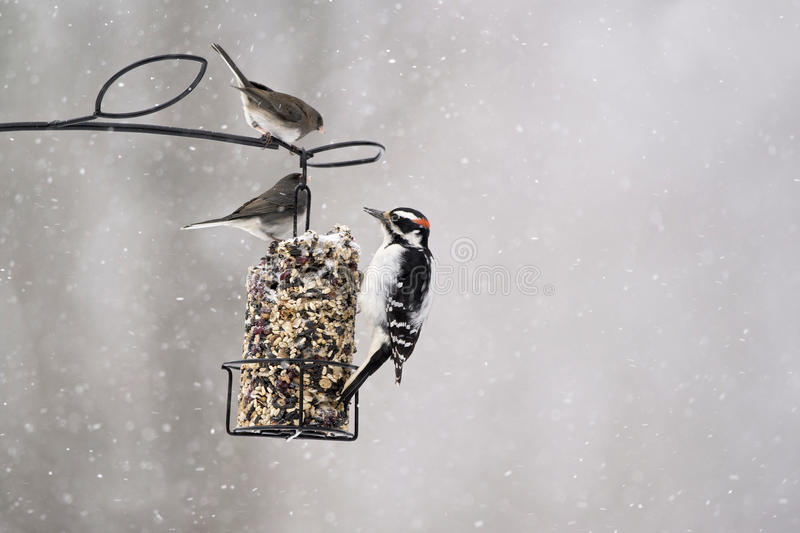 Birds feeding on suet cake in winter. Dark-eyed Juncos and Hairy Woodpeckers are a common sight at bird feeders during the winter months in Canada and the stock images