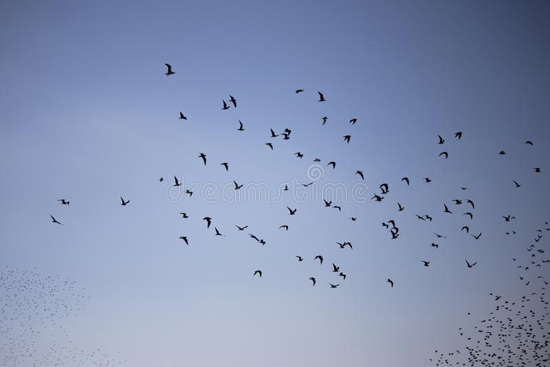 Birds flocking royalty free stock photography