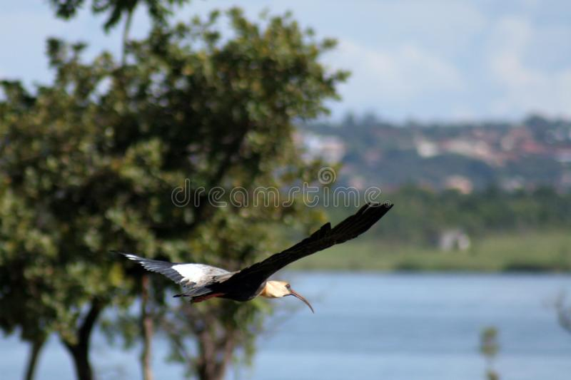 Birds Fly Stock Images