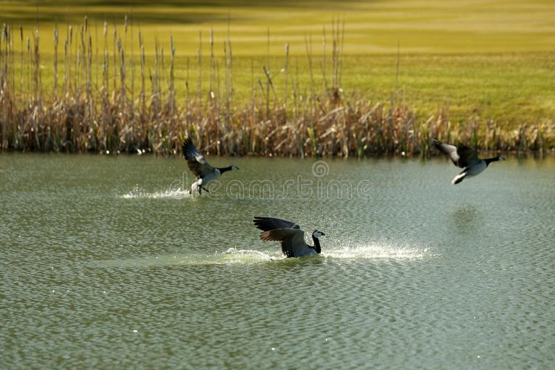 Birds fly over the golf course stock photo