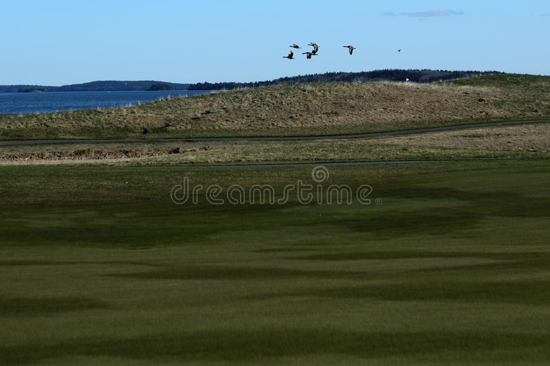 Birds fly over the golf course stock photos