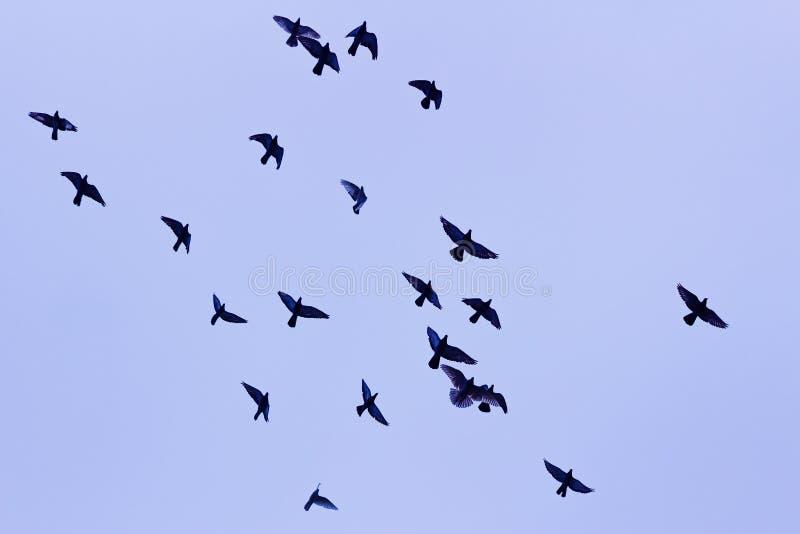 Birds fly in the sky. Flock of birds in the sky stock photos