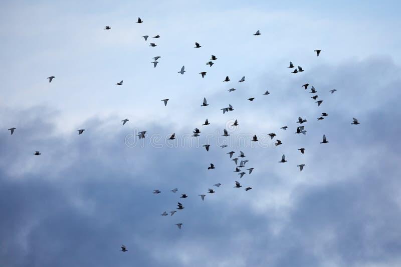 Birds flying in cloudy sky. Birds flying against blue sky stock photos