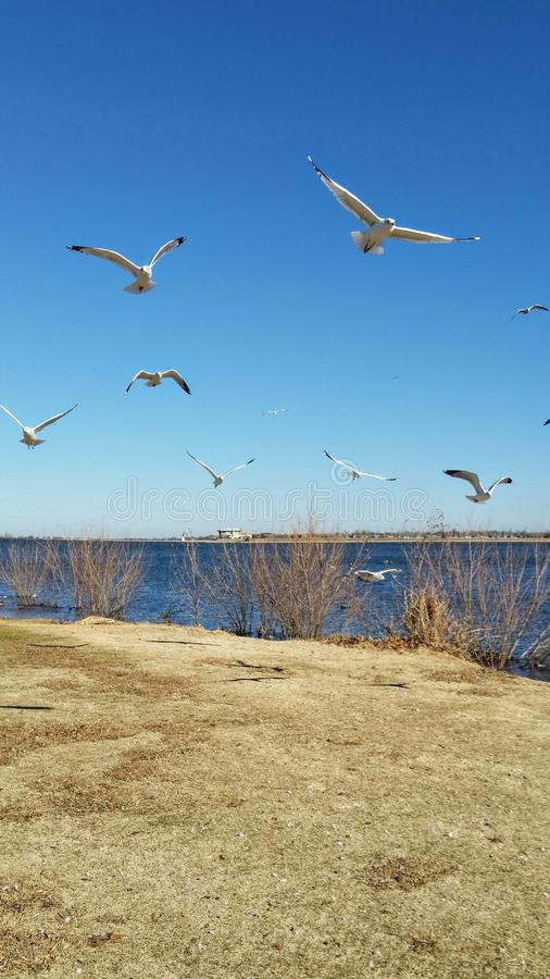 Birds flying at the lake. royalty free stock image
