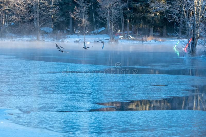 Birds flying over ice to open water stock images