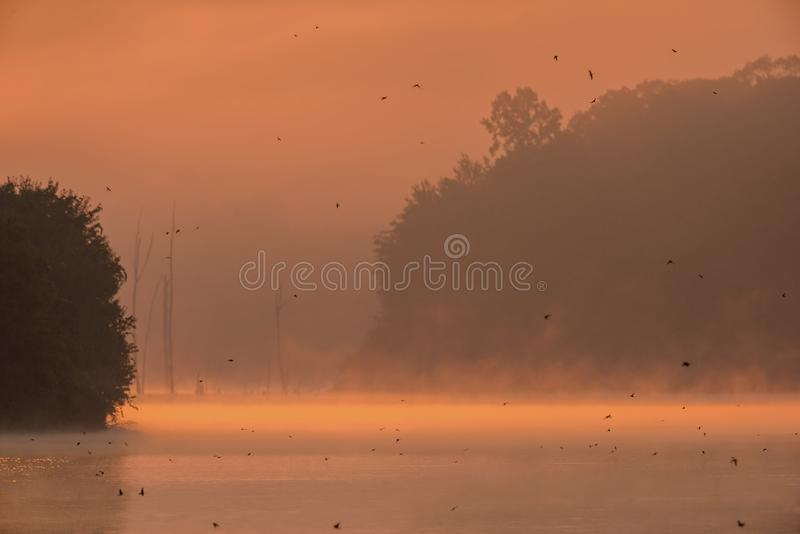Birds flying over a lake. Tree Swallows in flight and feeding over a lake at sunrise in Pennsylvania on a foggy morning