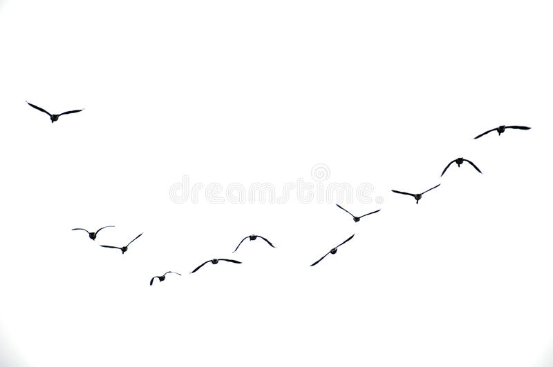 Birds Flying in Overcast Sky royalty free stock images