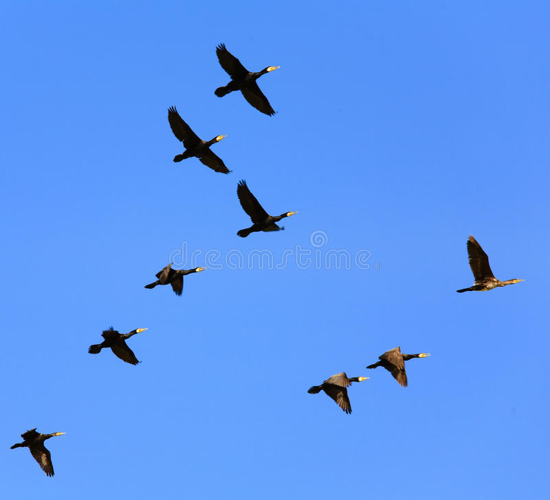 Stock Images Birds Flying Sky Image13573514