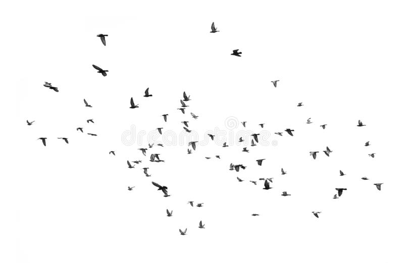 Birds flying in the sky Isolated on white background. Group of birds flying in the sky ,Black and white Isolated on white background royalty free stock photo