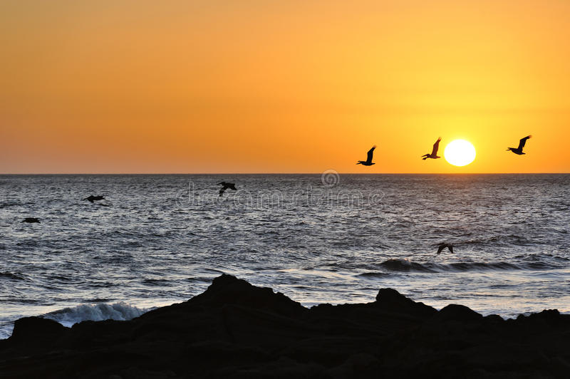Birds flying in sunset. Birds flying during sunset in Pacific ocean royalty free stock image
