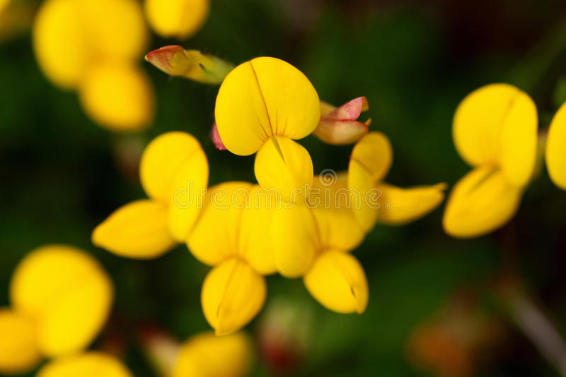 Birds foot trefoil. Common birds foot trefoil on a meadow royalty free stock photography
