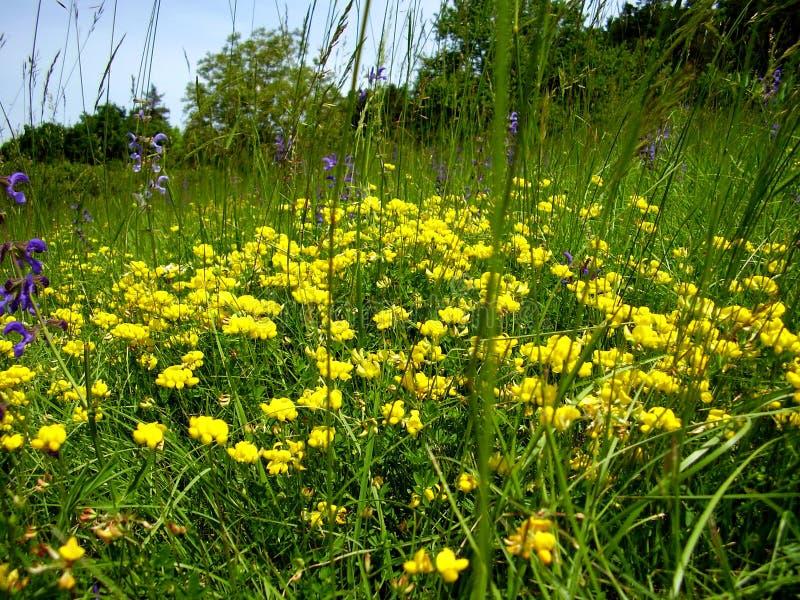 Birds-foot Trefoil. (Lotus corniculatus) growing in a meadow stock photo