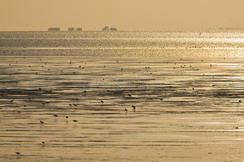 Birds foraging at Wadden Sea. Silhouettes of birds foraging at Wadden Sea at sunset royalty free stock photo