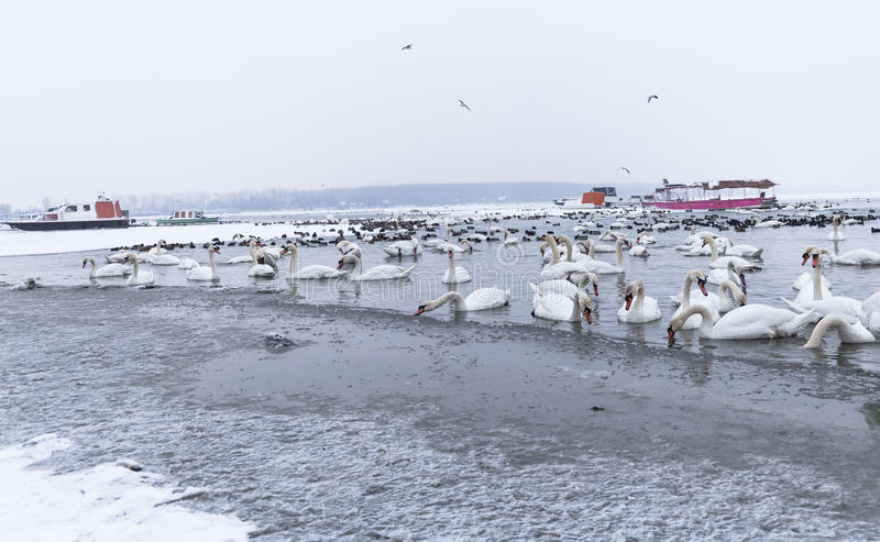 Birds in the frozen river with trapped boats in ice. Birds swans, ducks in the frozen river Danube at -15C in the small not frozen part in winter season with the royalty free stock image