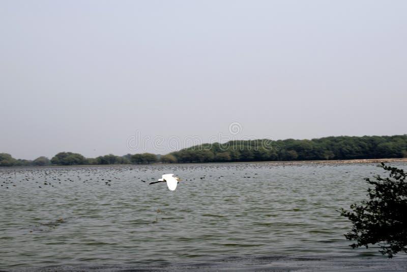 Birds great egret stock images