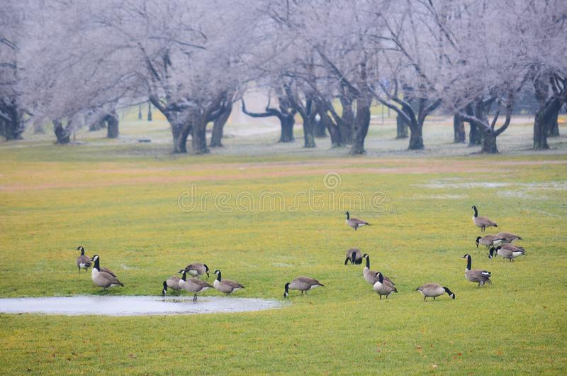 Birds on a green grass field in winter royalty free stock images