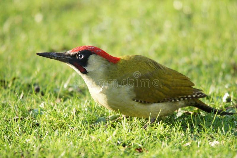 BIRDS - Green Woodpecker / Dzięcioł zielony royalty free stock photography