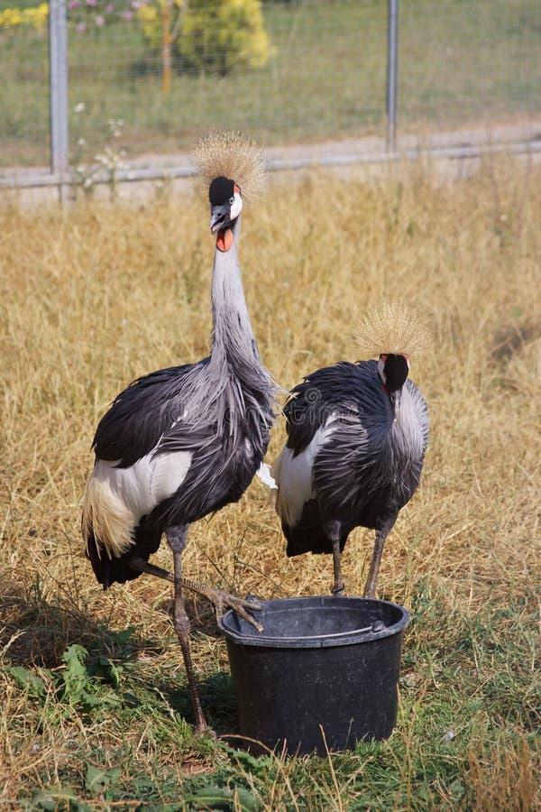 Birds Of Guinea-fowl Royalty Free Stock Photo