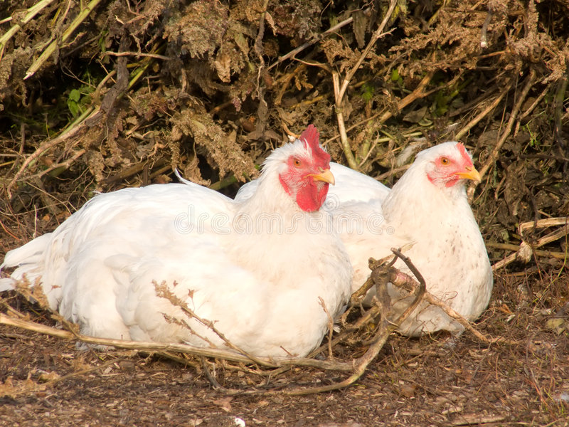 Birds house hens. In the field royalty free stock photos