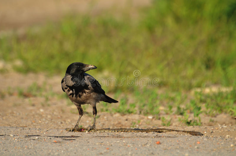 Download Birds hunting snake stock image. Image of green, outdoor - 19943949