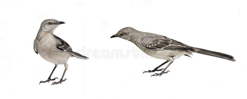 Birds Isolated on White royalty free stock photo
