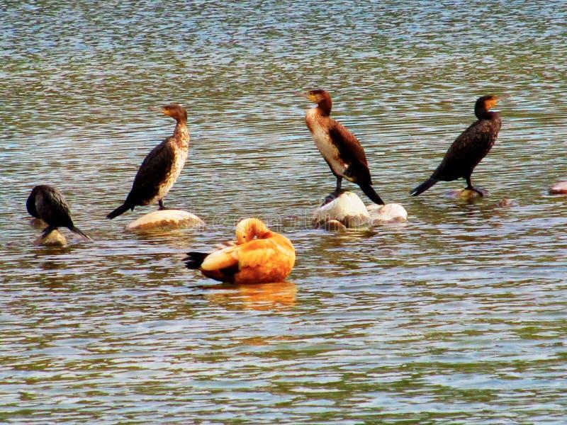 Birds in the lake royalty free stock photos