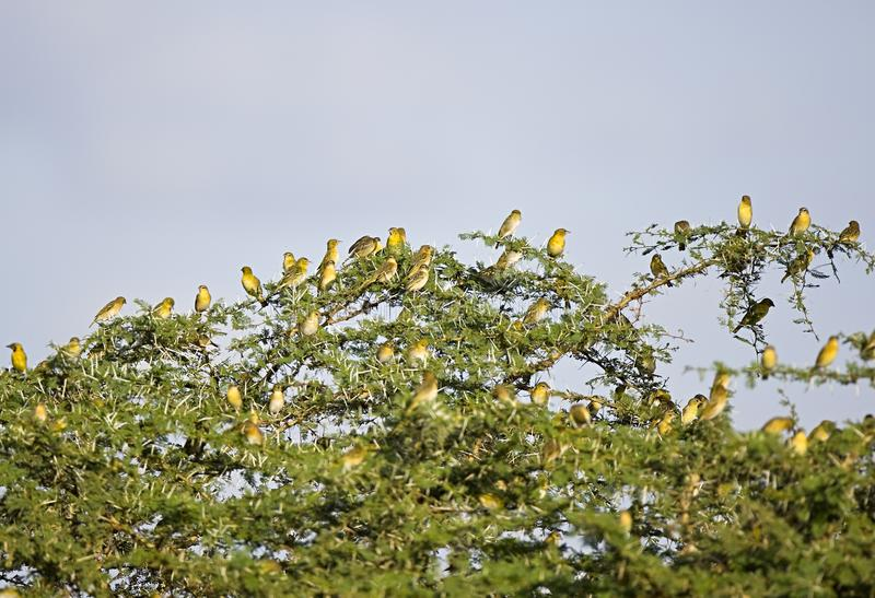 Birds on local trees in Tanzania. An authentic setting, where life is wonderful stock photo